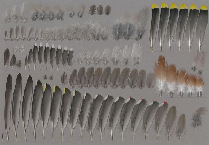 Bild von Federn der Art Bombycilla garrulus (Seidenschwanz)