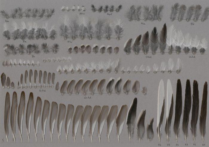 Bild von Federn der Art Motacilla alba (Bachstelze)