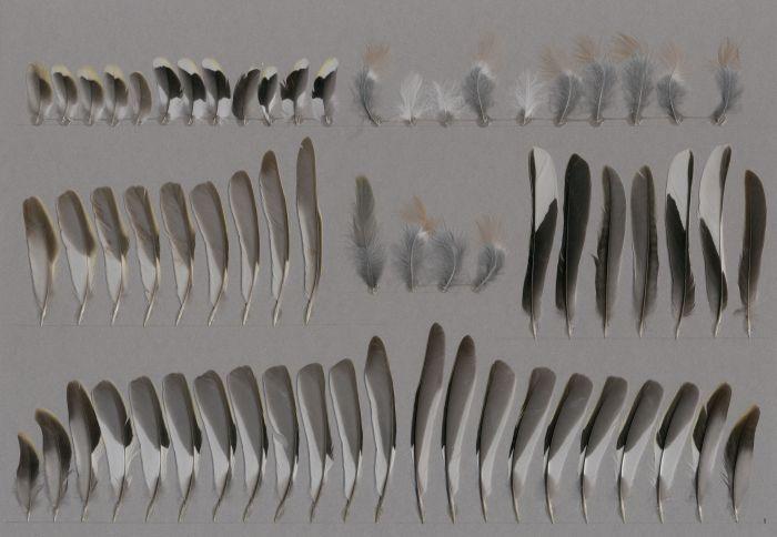 Bild von Federn der Art Fringilla coelebs (Buchfink)