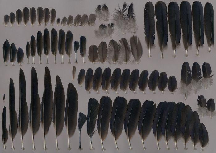 Bild von Federn der Art Corvus frugilegus (Saatkrähe)