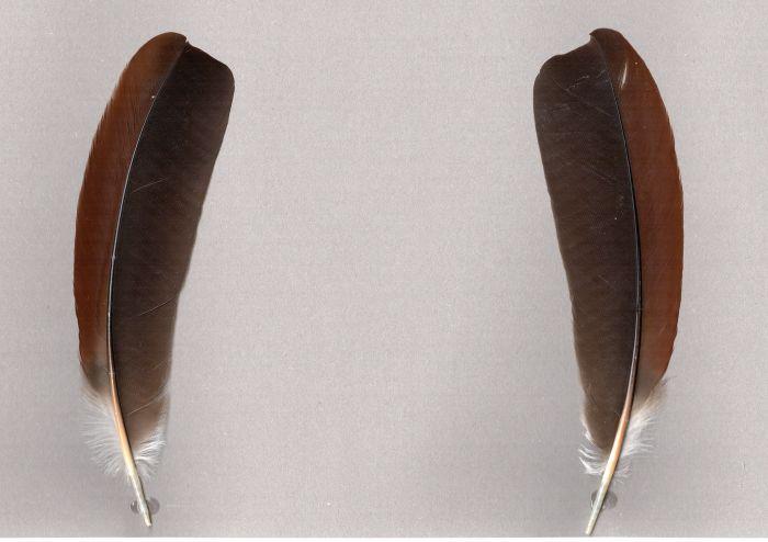 Bild von Federn der Art Psarocolius montezuma (Montezumastirnvogel)