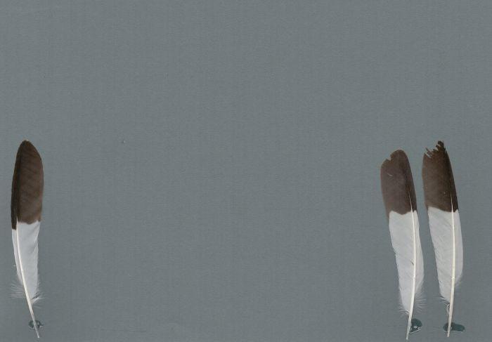 Bild von Federn der Art Dinemellia dinemelli (Starweber)