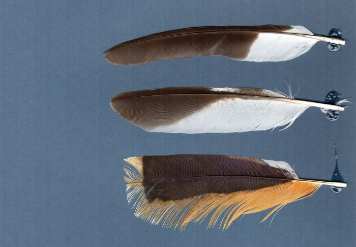 Bild von Federn der Art Rupicola rupicola (Tiefland-Felsenhahn)