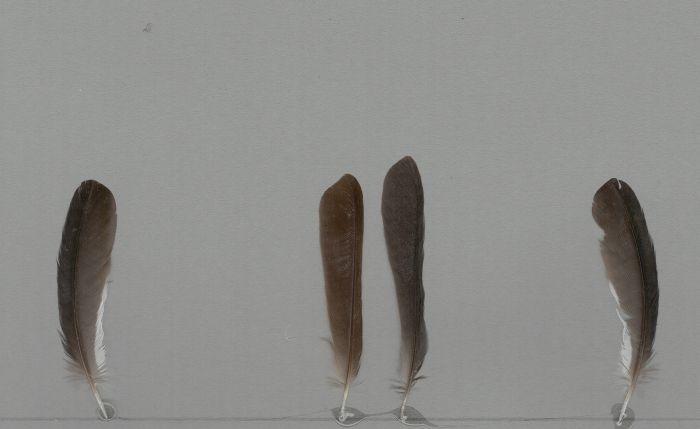 Bild von Federn der Art Tachyphonus luctuosus (Trauertangare)