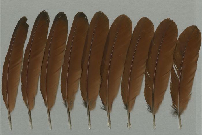 Bild von Federn der Art Centropus sinensis (Heckenkuckuck)