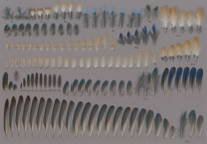 Bild von Federn der Art Alcedo atthis (Eisvogel)