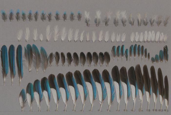 Bild von Federn der Art Halcyon senegalensis (Senegalliest)