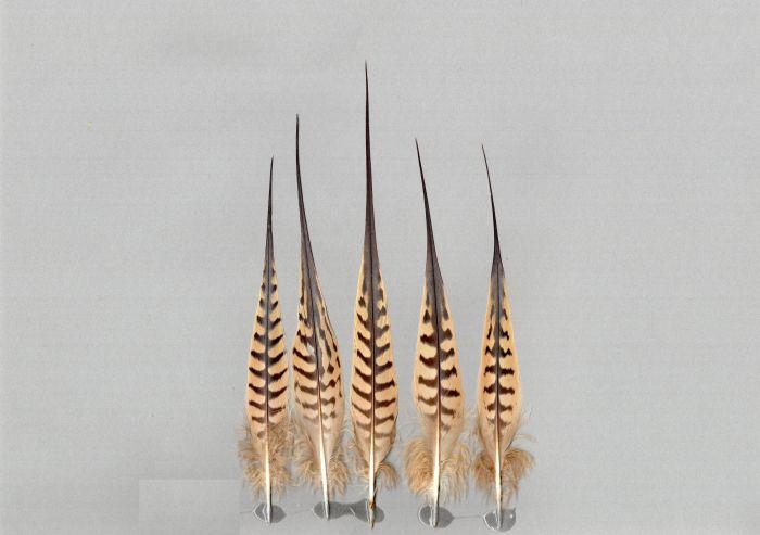 Bild von Federn der Art Syrrhaptes paradoxus (Steppenhuhn)