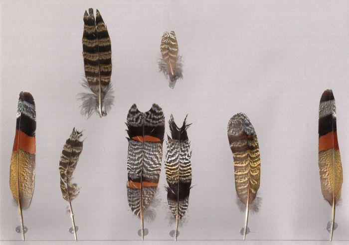 Bild von Federn der Art Eurypyga helias (Sonnenralle)