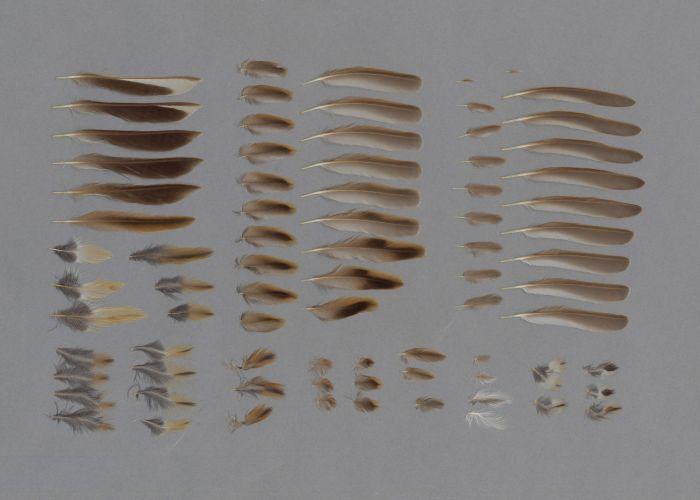 Bild von Federn der Art Emberiza fucata (Bandammer)