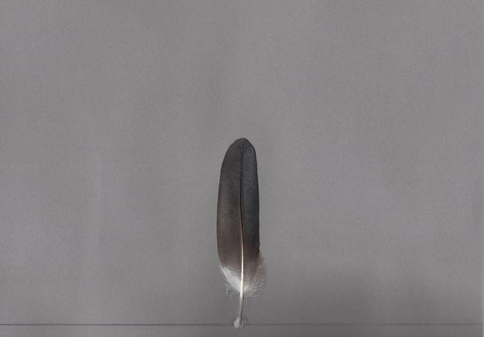 Bild von Federn der Art Crinifer piscator (Schwarzschwanzlärmvogel)