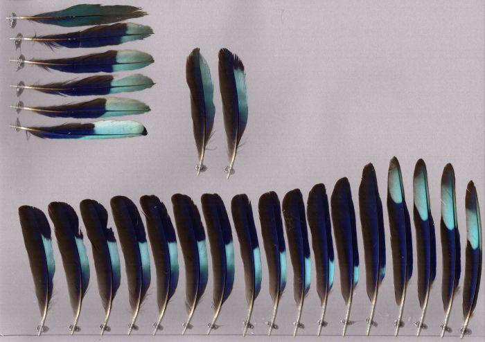 Bild von Federn der Art Coracias benghalensis (Hinduracke)