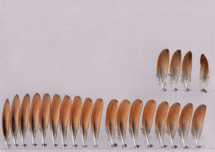 Bild von Federn der Art Ixobrychus cinnamomeus (Zimtdommel)