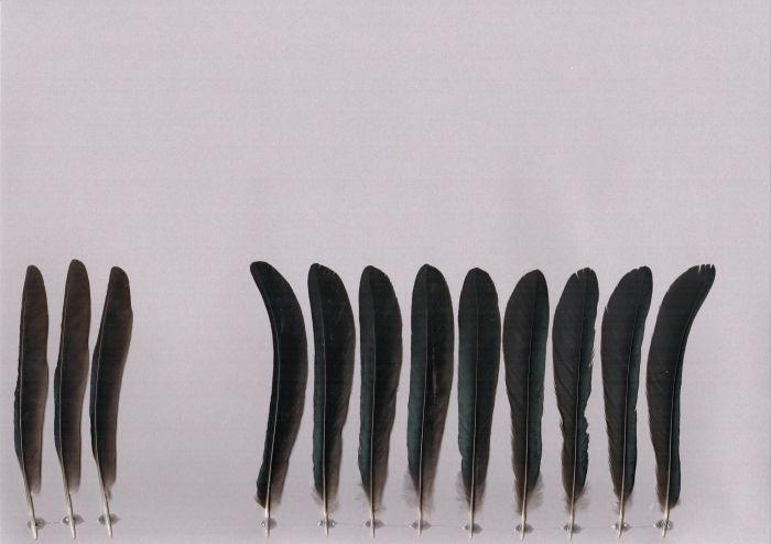 Bild von Federn der Art Dicrurus hottentottus (Haarbuschdrongo)
