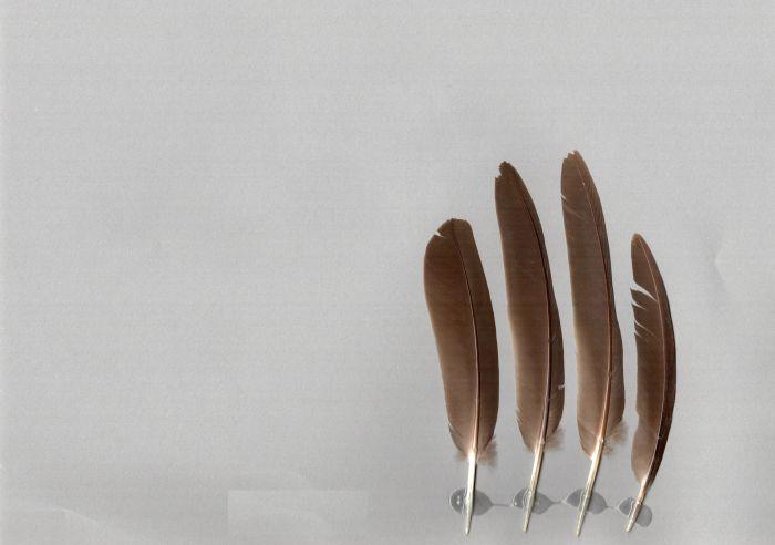 Bild von Federn der Art Trugon terrestris (Erdtaube)