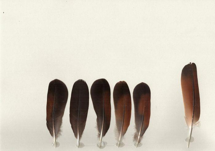 Bild von Federn der Art Geotrygon montana (Bergtaube)