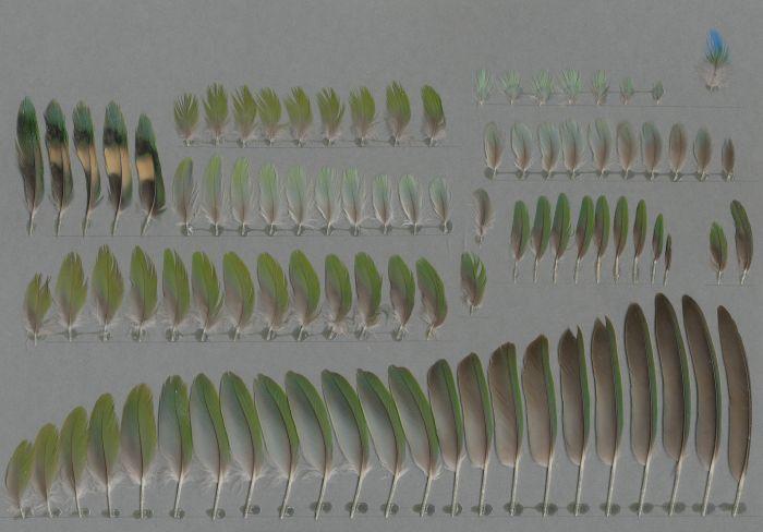 Bild von Federn der Art Agapornis roseicollis (Rosenköpfchen)