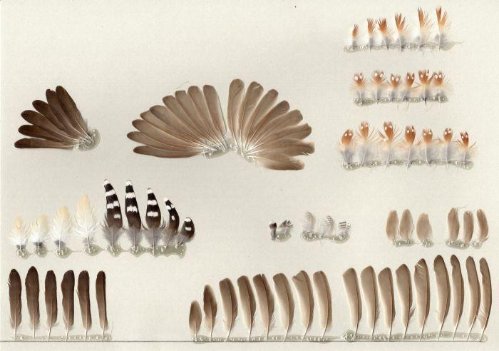 Bild von Federn der Art Taeniopygia guttata (Zebrafink)