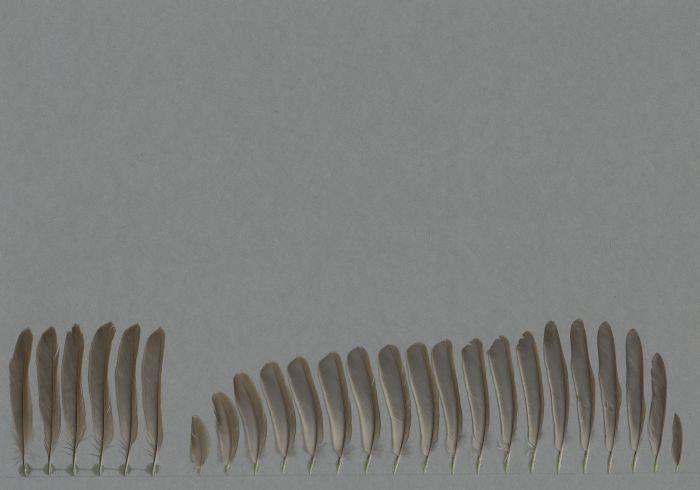 Bild von Federn der Art Erithacus rubecula (Rotkehlchen)