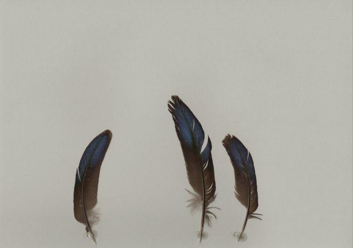 Bild von Federn der Art Polyplectron chalcurum (Bronzeschwanz-Pfaufasan)