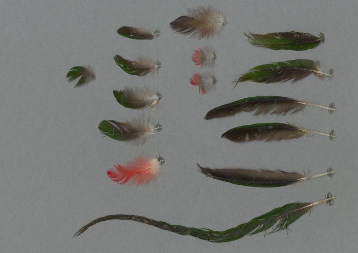Bild von Federn der Art Charmosyna papou (Papualori)