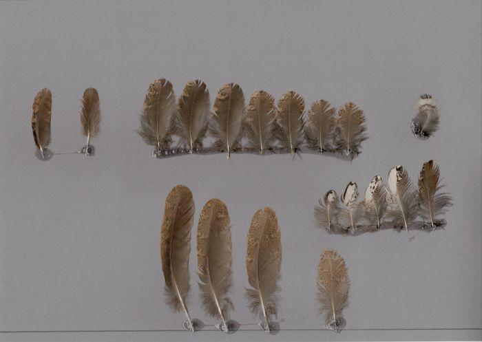 Bild von Federn der Art Batrachostomus javensis (Javafroschmaul)