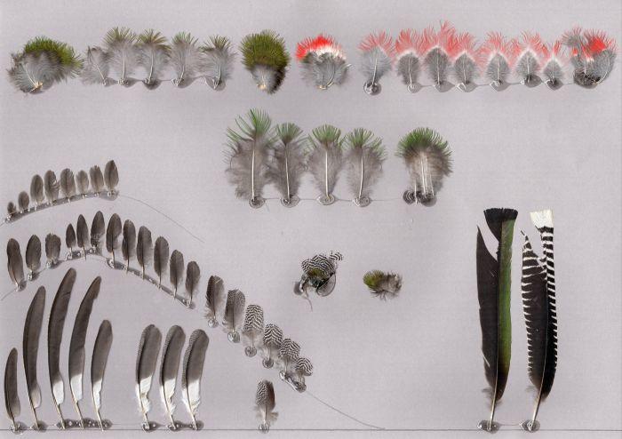 Bild von Federn der Art Trogon collaris (Jungferntrogon)