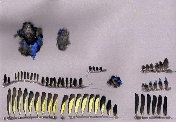 Bild von Federn der Art Cyanerpes cyaneus (Türkisnaschvogel)