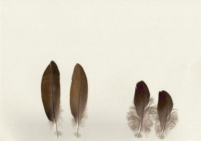 Bild von Federn der Art Netta erythrophtalma (Rotaugenente)