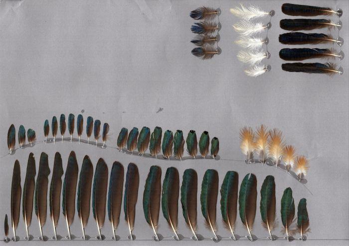 Bild von Federn der Art Lamprotornis superbus (Dreifarben-Glanzstar)