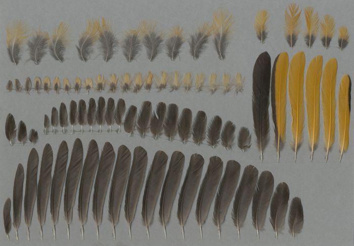 Bild von Federn der Art Cossypha niveicapilla (Weißscheitelrötel)