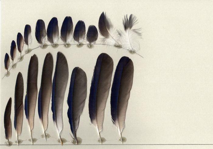 Bild von Federn der Art Cyanocorax mystacalis (Nacktwangen-Blaurabe)