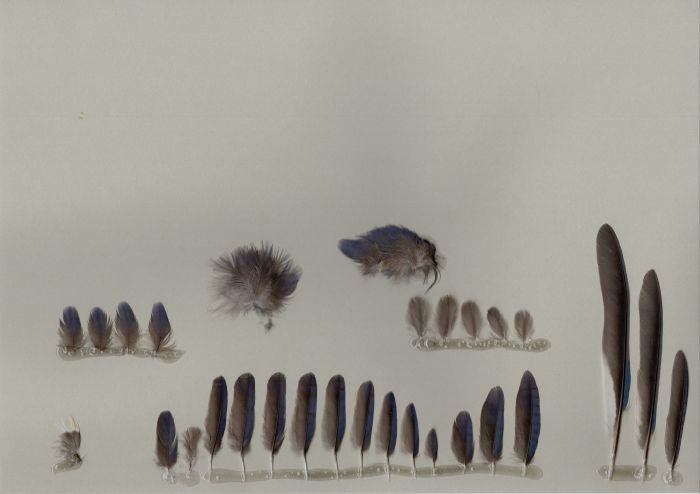 Bild von Federn der Art Cyanocitta cristata (Blauhäher)