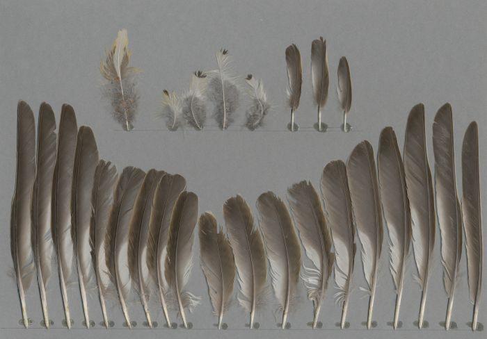 Bild von Federn der Art Turdus viscivorus (Misteldrossel)