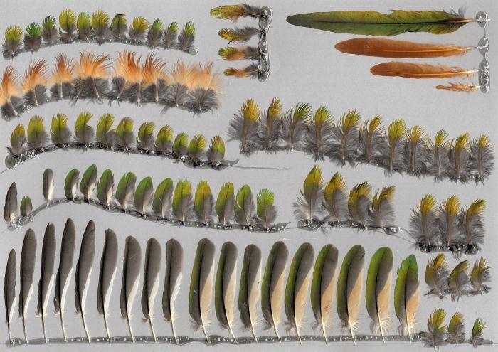 Bild von Federn der Art Galbula ruficauda (Rotschwanz-Glanzvogel)