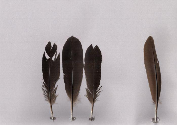 Bild von Federn der Art Lophura inornata (Salvadorifasan)