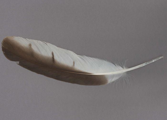 Bild von Federn der Art Circaetus gallicus (Schlangenadler)