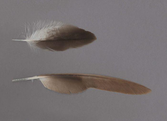 Bild von Federn der Art Circus aeruginosus (Rohrweihe)