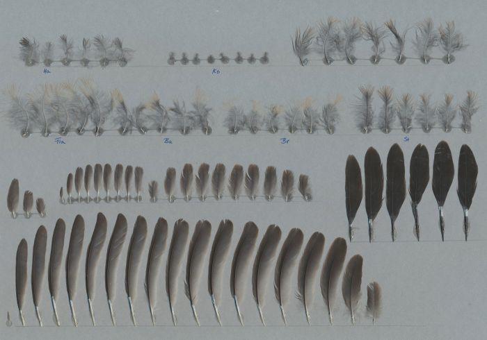 Bild von Federn der Art Ramphocelus bresilius (Brasiltangare)