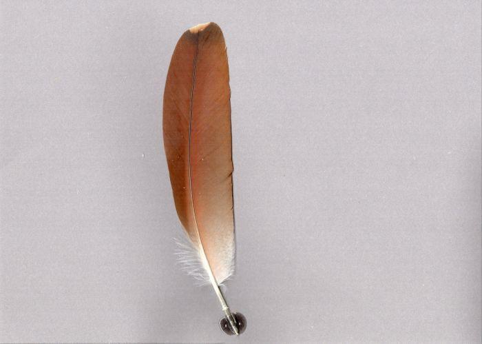Bild von Federn der Art Nycticorax caledonicus (Rotrückenreiher)