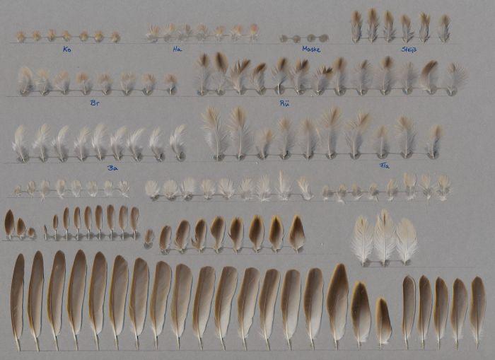 Bild von Federn der Art Quelea quelea (Blutschnabelweber)