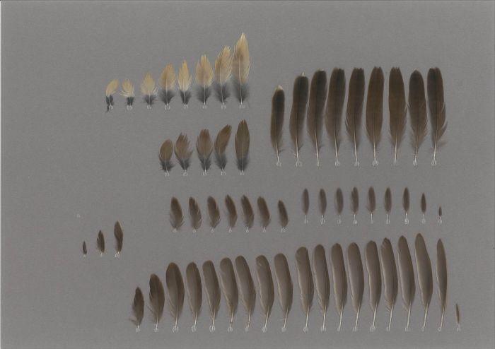 Bild von Federn der Art Locustella ochotensis (Middendorffschwirl)