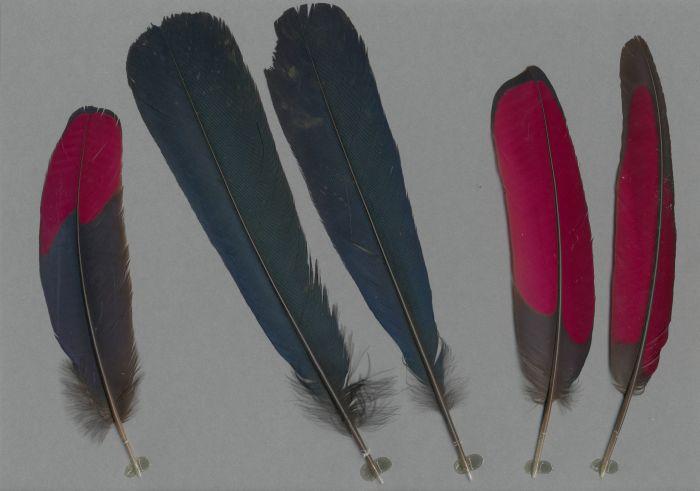 Bild von Federn der Art Musophaga violacea (Schildturako)