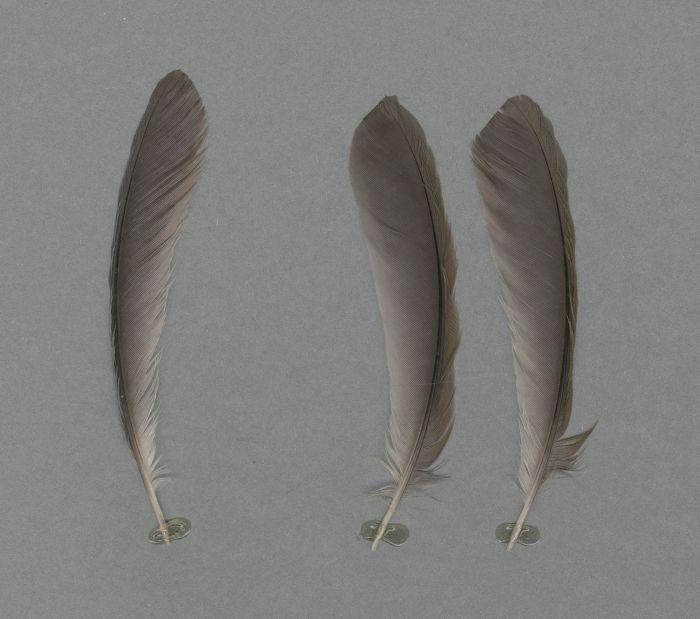 Bild von Federn der Art Pterorhinus courtoisi (Blaukappenhäherling)