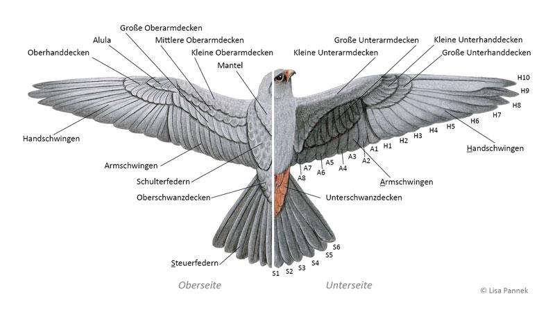 Gefiederaufbau am geschlossenen Flügel