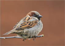 Foto der Art Passer domesticus (Haussperling)