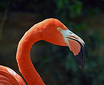 Foto der Art Phoenicopterus roseus (Rosaflamingo)