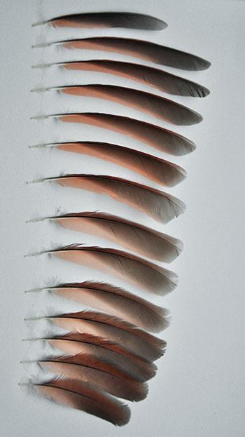 kardinal vogel bilder