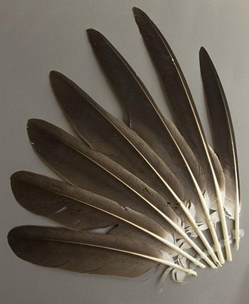 Bild von Federn der Art Haliaeetus albicilla (Seeadler)