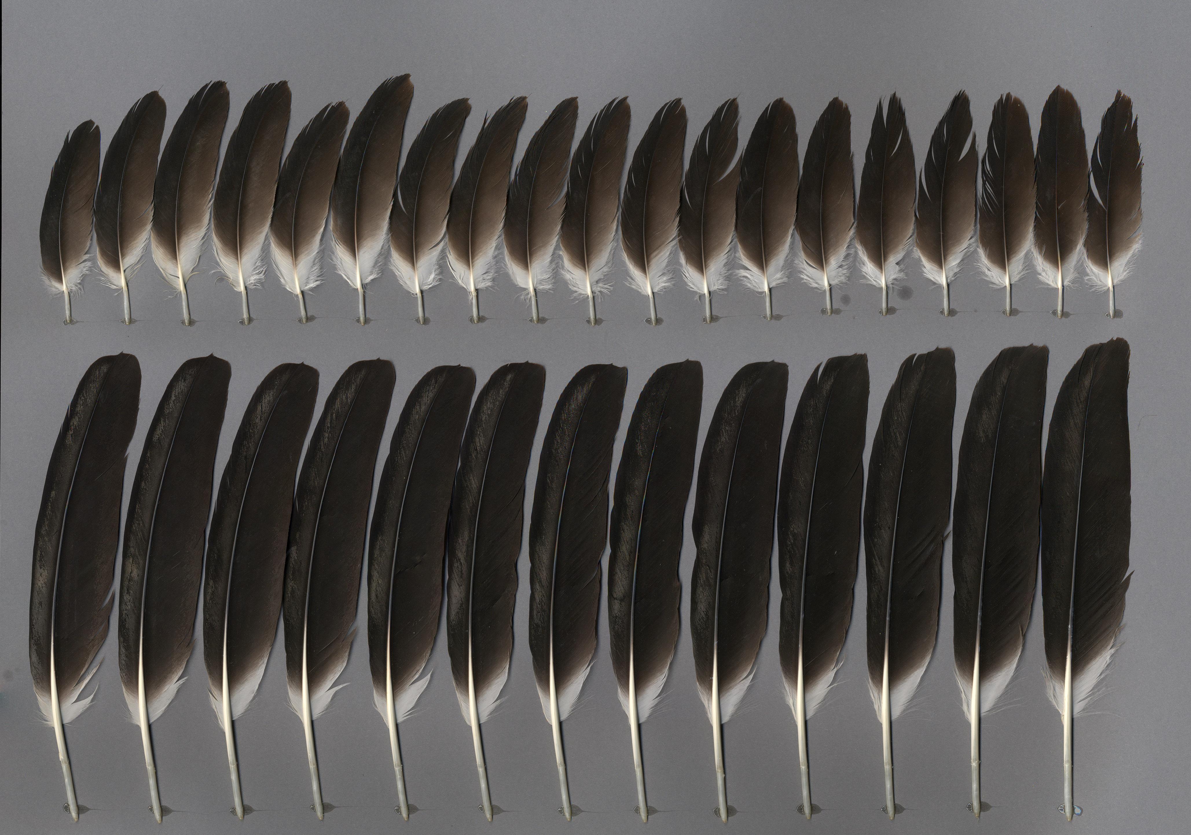 White Stork (Ciconia ciconia) - Feathers on featherbase info